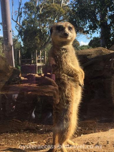 Celebrity Meerkat posing for photo.